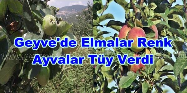 Geyve-Ayva-703703