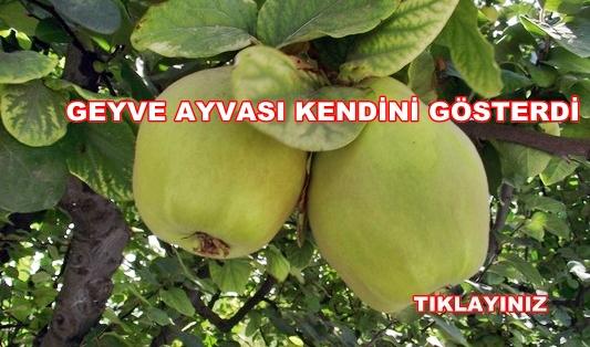 Geyve Ayva 1