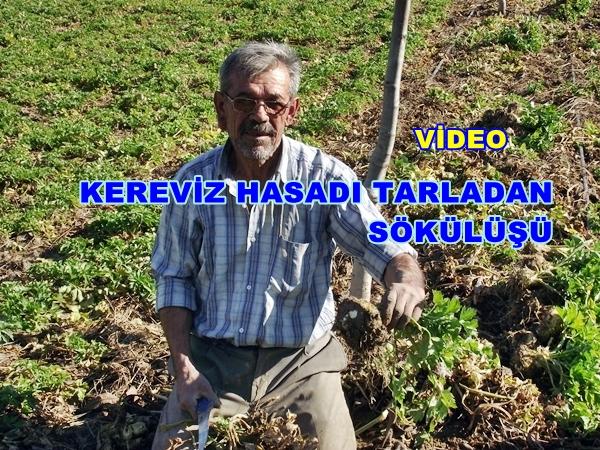 Geyve Kereviz 05