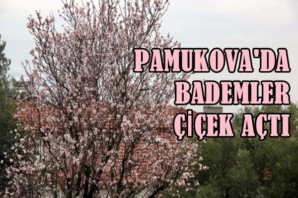 Pamukova Badem 2
