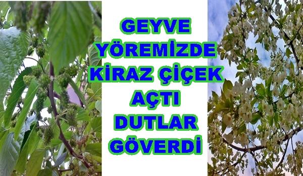 Geyve Dut 11