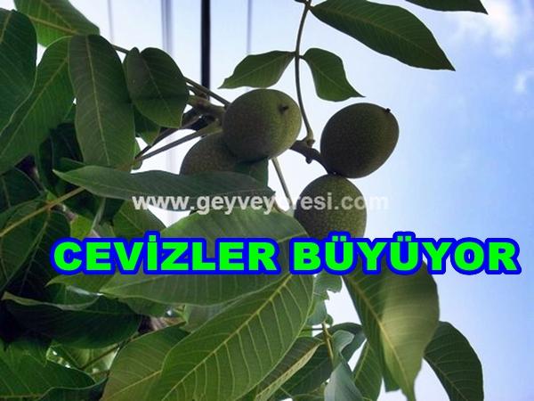 Geyve Ceviz 1-479