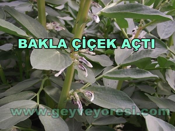 Geyve Sebze Bakla 03